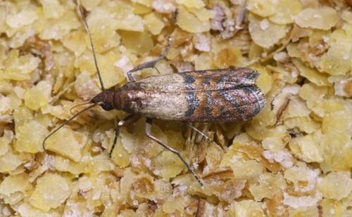 Вредители на кухне: бабочка зерновой пищевой моли