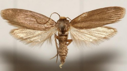Как выглядит бабочка восковой моли. Цвет и размер. Образ жизни.