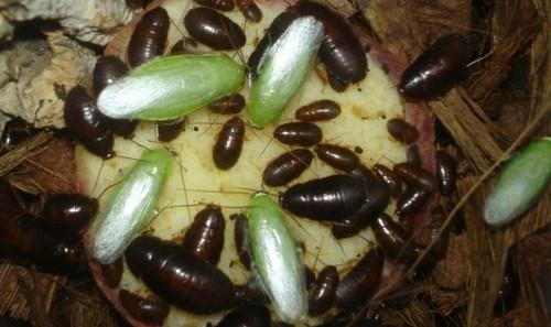 Экзотические банановые тараканы.