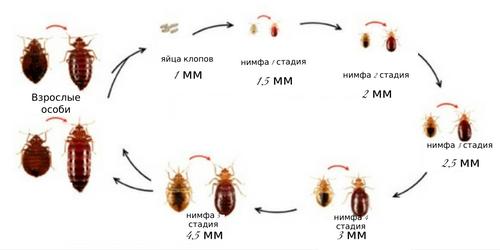 Как происходит рост личинки постельного клопа, цикл развития.
