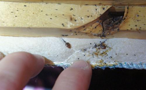 Как выглядит гнездо клопов с тыльной стороны дивана.