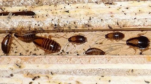 Как выглядят личинки рыжего таракана.