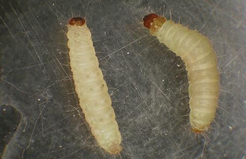 как выглядят личинки комнатной моли.