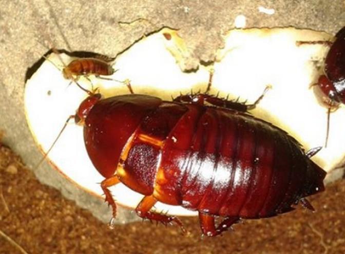Тараканы марципановые в неволе.