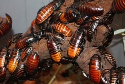 Какие существуею разновидности тараканов.