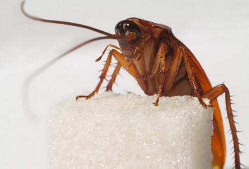 Чем вредны тараканы. Что они оставляют на столе.