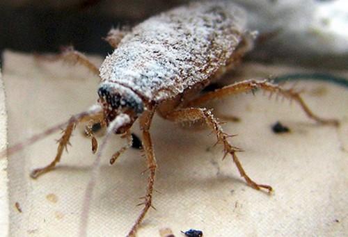 Какими средствами лучше травить тараканов самостоятельно.