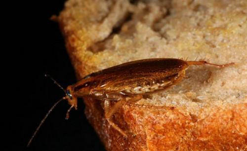 Чем могут быть опасны тараканы для здоровья человека