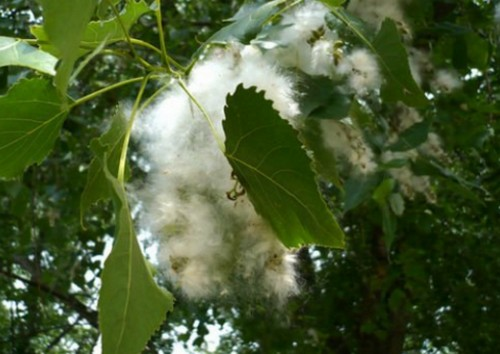 Сезон тополиной моли - с начала появления пуха.