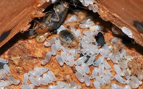 Выведение потомства постельного клопа, яйца и личинки.