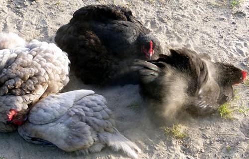 kury kupayutsya v pyli - Куриные блохи, как избавиться на птице и в курятнике