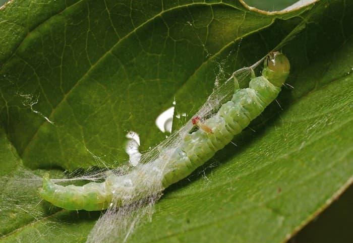 Личинка листовертки