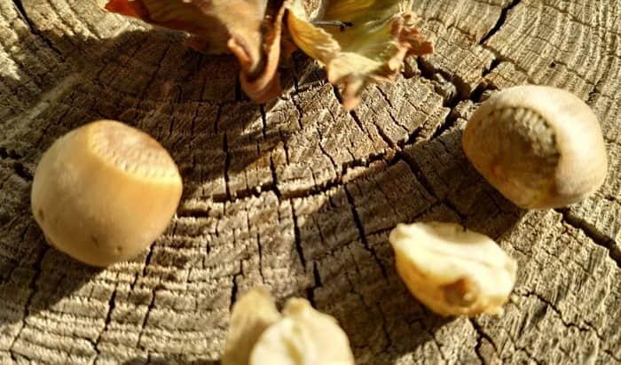 Личинка орешникового долгоносика
