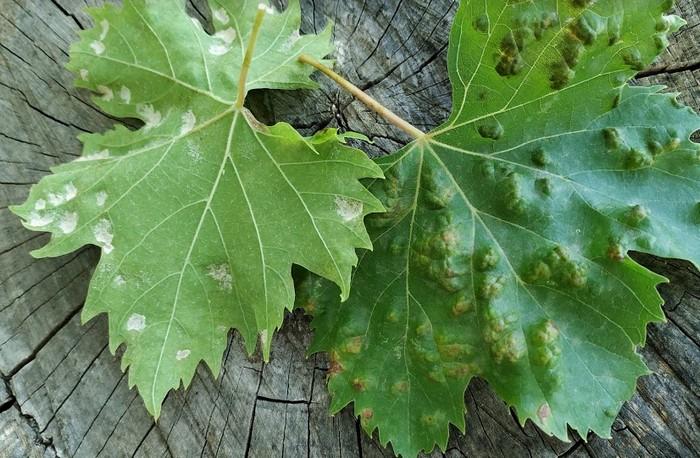 Симптомы поражения винограда зуднем