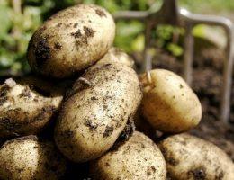 Защита урожая картофеля.