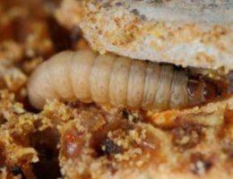 Главный вредитель пасеки - восковая моль и ее личинки.
